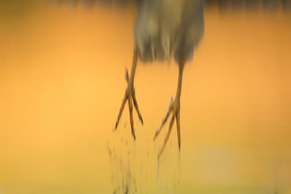 Black-capped Night heron, Nycticorax nycticorax, Pusztaszer protected landscape, Kiskunsagi, Hungary