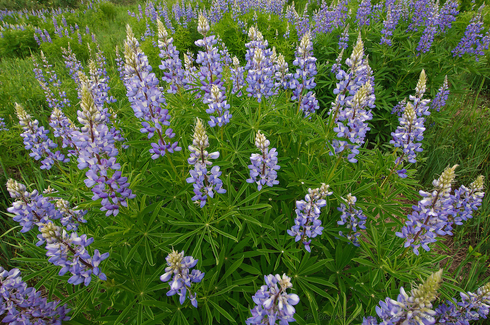 Silvery Lupines [Lupinus argenteus]; Kebler Pass, Gunnison NF., Colorado