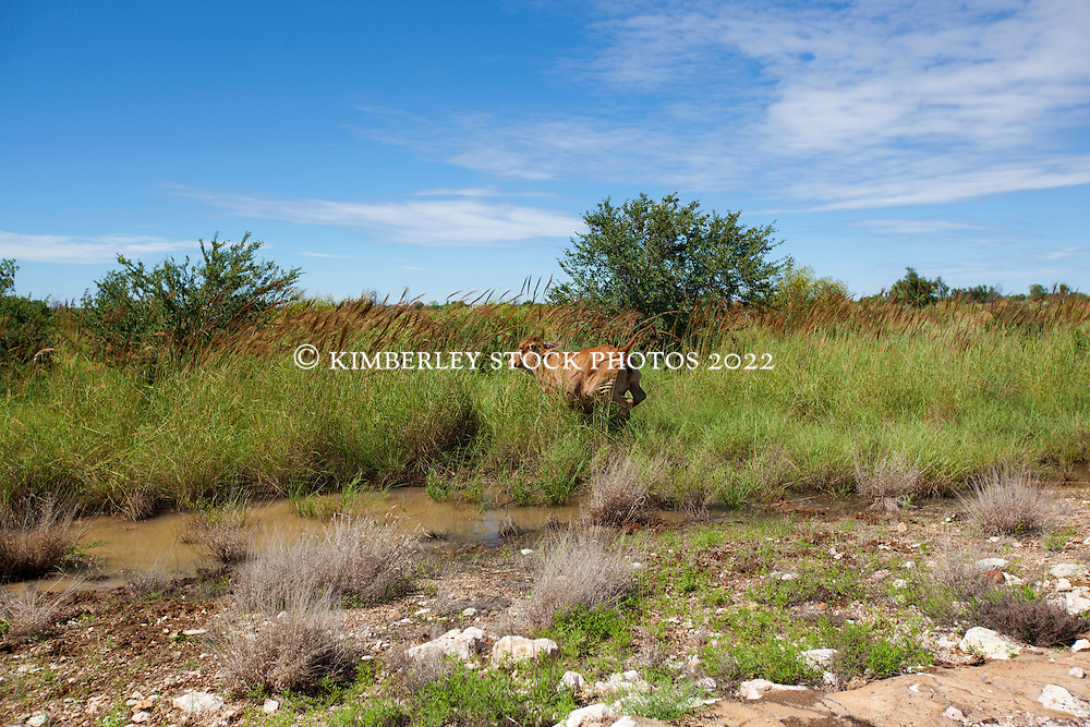 A beast leaps into cane grass by the roadside on the road to Fitzroy Crossing.  Cattle are common by the roadside.