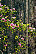 Rhododendron and Redwood tree; Redwood Nature Trail, Siskiyou National Forest, Oregon.