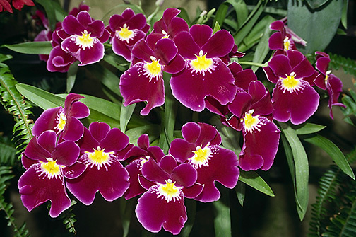 Miltonia petunia cv. red admiral, orchid; cultivated flower; horizontal