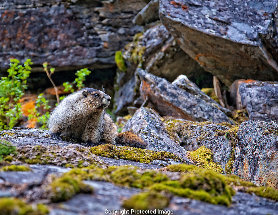 Hoary Marmot. (Marmota caligata), Alberta, canada, Isobel Springett