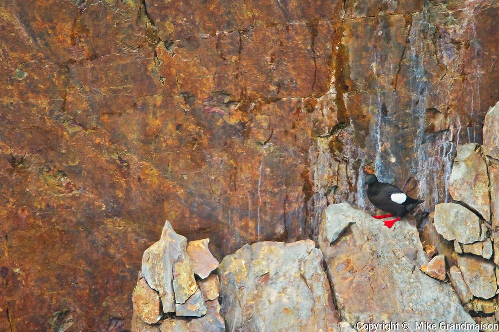 Pigeon guillemot (Cepphus columba) on rock ledge. Atlantic Ocean, Elliston, Newfoundland, Canada