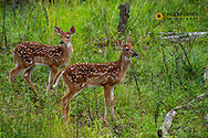 Whitetail deer twin fawns in Whitefish, Montana, USA