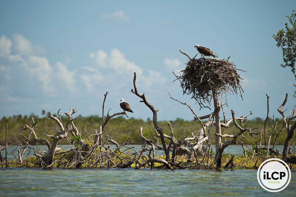 A pair of Osprey (Pandion haliaetus) watching over the nest in a magrove area of Cozumel