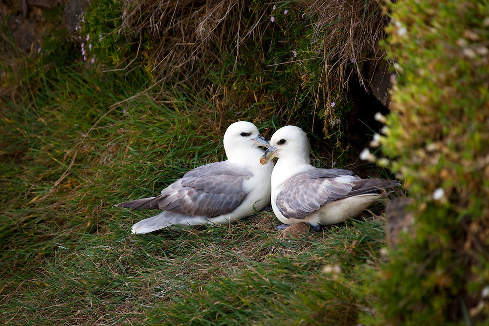 A fulmar pair on Saltee Islands, off the coast of Co. Wexford, Ireland. © 2011 Dave Walsh
