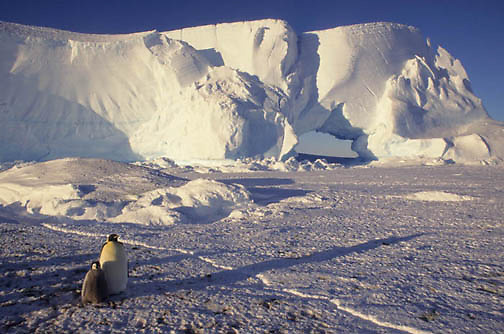Emperor Penguin, (Aptenodytes forsteri) Adult and chick. Atka Bay. Antarctica.