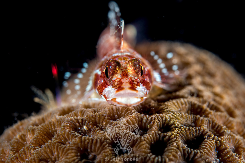 Triplefin on Star Coral<br /> <br /> Shot in Indonesia