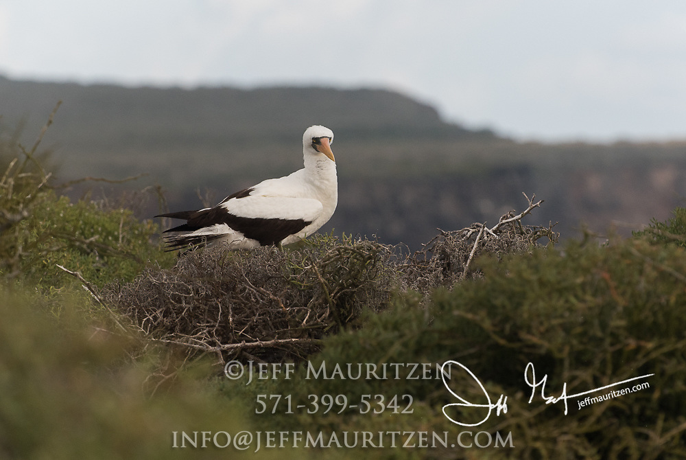 A Nazca booby on Española island in the Galapagos.