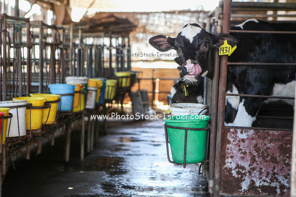Young calves in a pen at a dairy farm. Photographed in Israel