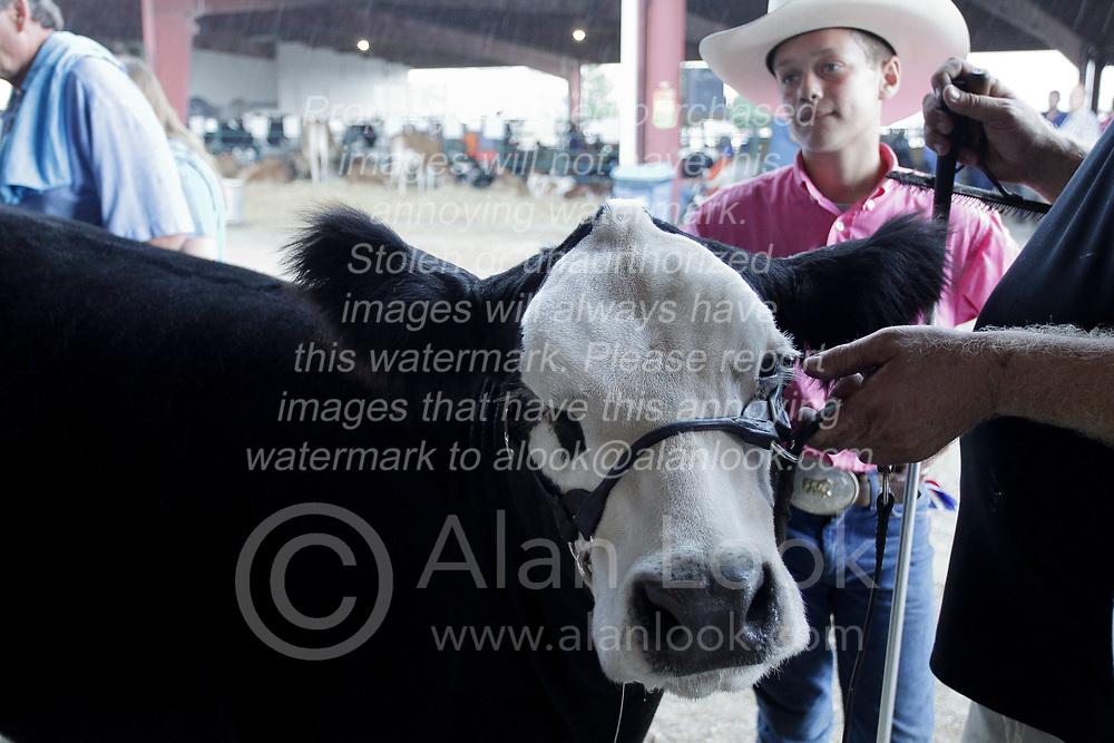 03 August 2017:  White faced cow 2017 McLean County Fair<br /> <br /> #alphoto513