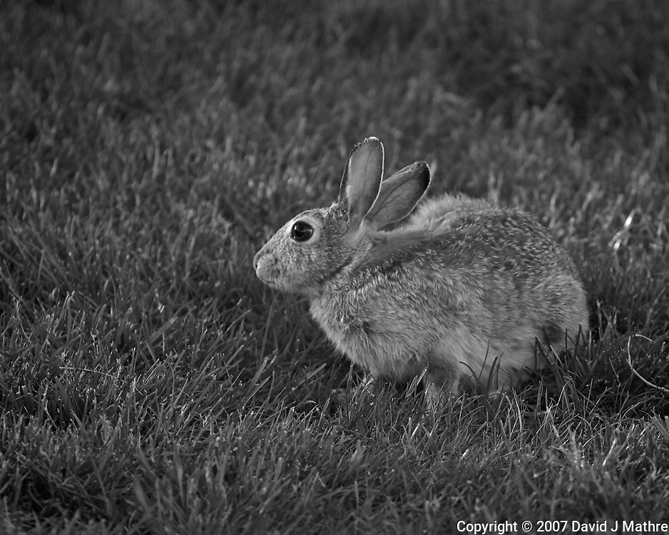 Rabbit at the Boulder Marriott Residence Inn. Late spring nature in Colorado. Image taken with a Nikon D2xs camera and 200 mm f/4 macro lens (ISO 400, 200 mm, f/4, 1/250 sec).