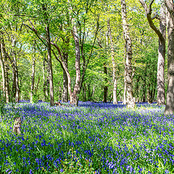 With the good weather brings the full bloom of the blue bells in a local woodland