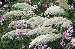 Cortaderia selloana 'Sunningdale Silver' with Sedum 'Herbstfreude' syn. Sedum 'Autumn Joy' and Cosmos