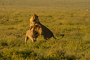 Two male lions, siblings, playing