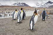 King Penguins (Aptenodytes patagonicus).in front of the melt water river, St Andrews Bay, South Georgia Island, South Atlantic Ocean