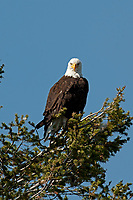 A Bald Eagle perched in a pine tree rests after morning fishing in a nearby river.