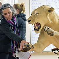 Joan Boyden, of Grants, takes a look at the paw of an African lion at the Museum of Southwestern Biology, which has the second largest mammals collection in the world. The museum opened its door to the public for a one-day event Sunday.