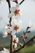 Israel, Close up of Almond (Prunus dulcis) blossoms