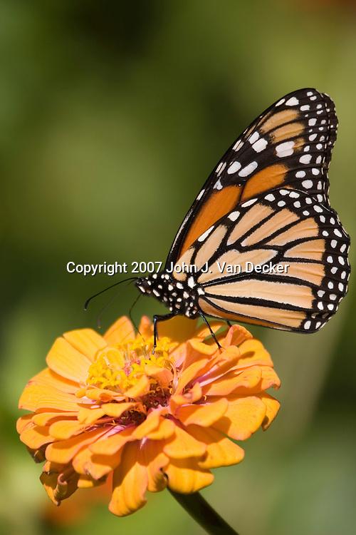 Monarch Butterfly, Danaus plexippus, with wings folded on orange yellow zenia flower