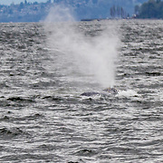 Gray whale watching with Puget Sound Express. March 2017. Photo by Alabastro Photography.