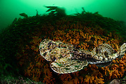 The Angler (Lophius piscatorius) , is a monkfish (Lophiidae)   Seeteufel (Lophius piscatorius), auch Anglerfisch oder Lotte
