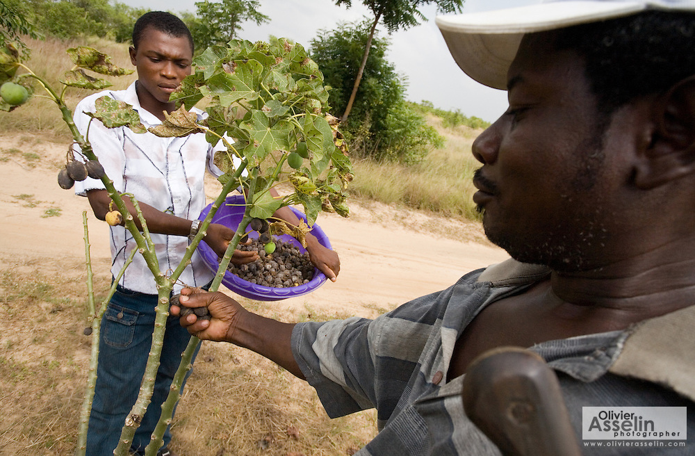 Farm workers Thomas Kavi (left) and Badema Kpogli (right) pick dry jatropha fruits from a tree at the farm where he works in the town of Lolito, roughly 80km east of Ghana's capital Accra, on Thursday Dec. 12, 2006. Jatropha - which grows naturally in Ghana and other parts of Africa - can be used to make biodiesel.<br />