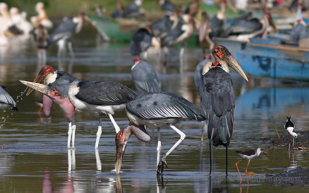 Marabou Stork, Leptoptilos crumenifer, Awassa Fish market, Ethiopia, by Markus Lilje