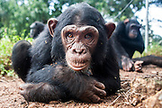Female infant chimp, Sara, is photographed at Ngamba Island Chimpanzee Sanctuary in Lake Victoria, Uganda. Sara, who has been on Ngamba Island since 2012, is a little chimp with a clear face. She was confiscated from a trader in Southern Sudan. At the time of her arrival, she was in a bad condition. Her eyes were puffy due to dehydration and she had a big hard stomach with no hair on it.<br /> She pretty much wants to own everything, she screams until she is given what she wants including sticks and all other small enrichment materials. When she is scared, Sara runs to her surrogate mother, Connie. She likes riding on Connie&rsquo;s back. 03/15 Julia Cumes/IFAW