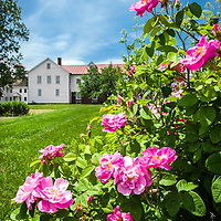 Roses in bloom at Canterbury Roses in bloom at Shaker Village, NH.<br />