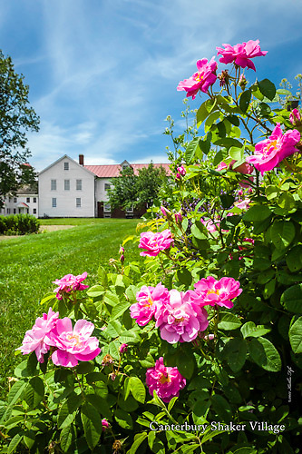 Roses in bloom at Canterbury Roses in bloom at Shaker Village, NH.<br /> <br /> Please ORDER BY December 10, 2012 to ensure delivery before Christmas.<br /> <br /> Also available as a fine art print. See Canterbury Shaker Village gallery page.<br /> <br /> All Content is Copyright of Kathie Fife Photography. Downloading, copying and using images without permission is a violation of Copyright. Please order by December 5, 2012 to ensure delivery before Christmas.