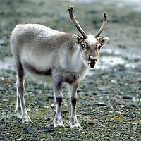 Arctic Reindeer