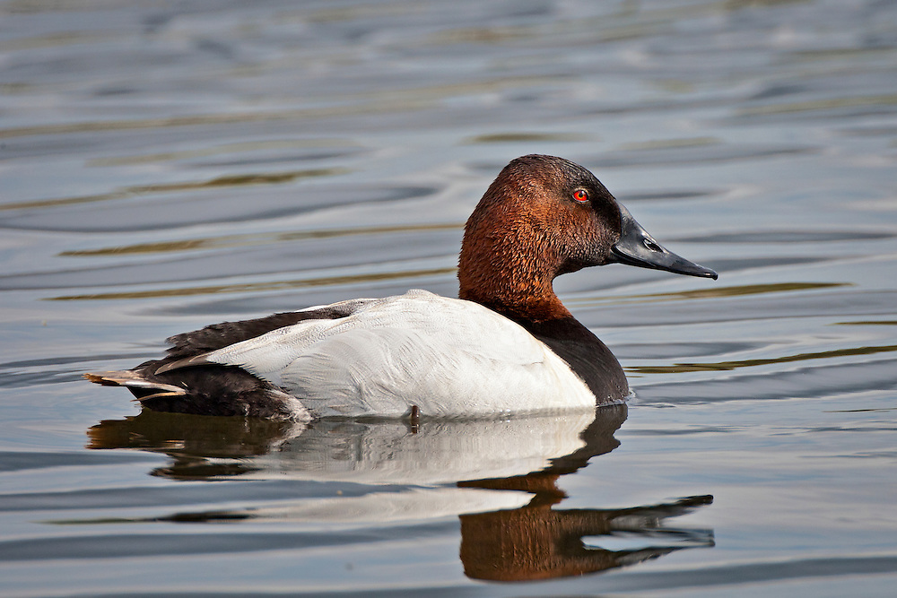 Alaska.  Adult Canvasback drake (Aythya valisineria) swimming quietly on lightly rippled water at Potter Marsh in May.