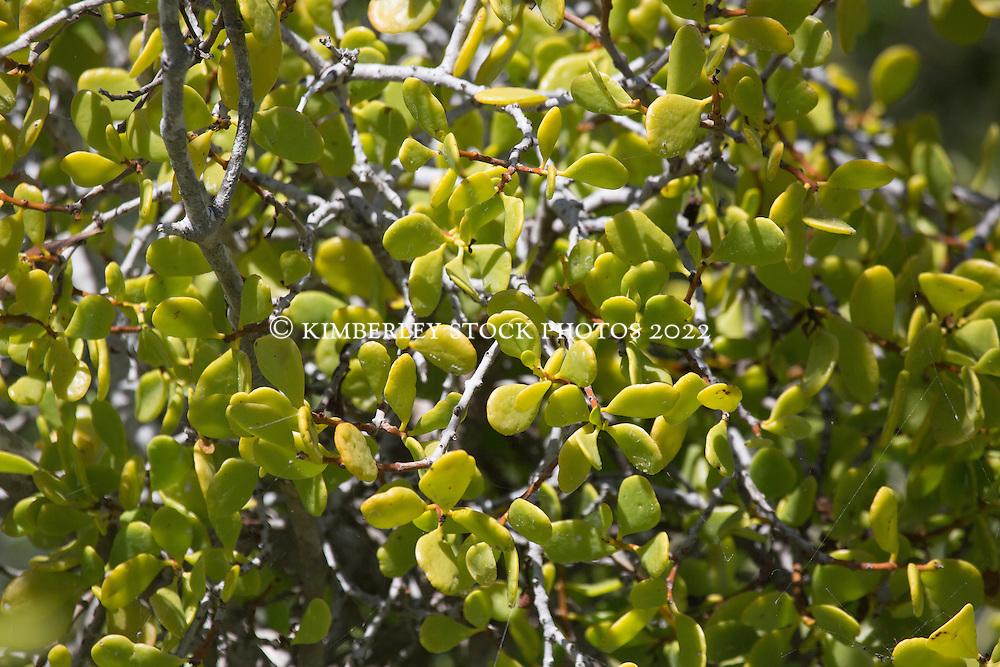 A mangrove mistletoe in Roebuck Bay.