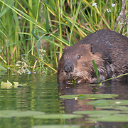 A North American beaver (Castor canadensis) in  Washington Park Arboretum, Seattle, Washington. Photo by William Byrne Drumm.
