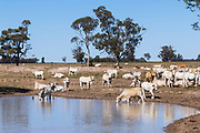 Brahman cross (Bos Indicus) cattle around watering hole earthen dam in outback farm paddock in The Gums, Queensland, Australia