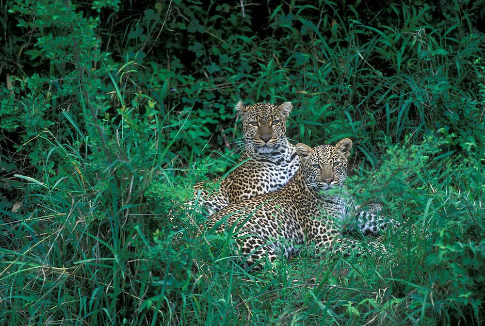 Africa, Kenya, Masai Mara Game Reserve, Juvenile Male Leopard Cub joins mother (Panthera pardus) along Telek River