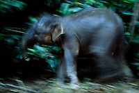 A young Borneo Pygmy Elephant (Elephas maximus borneensis) on a river bank.