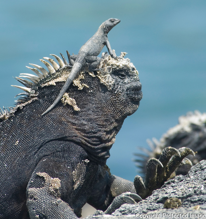 Marine Iguana with Lizard, Galapagos