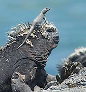 Marine Iguana with Lizard, Galapagos