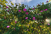 Rose plants in Valley of Roses, Bulgaria