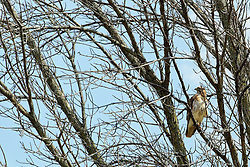 24 July 2018:   Comlara Park nature:  Adult Red-tailed Hawk (Buteo jamaicensis) perched in a mostly dead tree