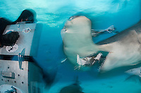 Mike Black feeds a Great Hammerhead Shark, blurred<br /> <br /> Shot in Bimini, Bahamas