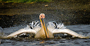 Great White Pelican (Pelicanus onocrotalus) cleaning its feathers.  Lake Nakuru, Kenya.