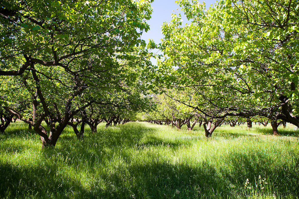 An old apricot orchard with ripening fruit and long green grass between the rows of trees. Historic orchards in Capital Reef, Utah are preserved and protected as a Rural Historic Landscape. The orchards are part of the pioneer community of Fruita.