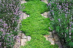 A scented chamomile path Chamaemelum nobile 'Treneague' edged with Lavandula angustifolia 'Hidcote' at Clinton Lodge