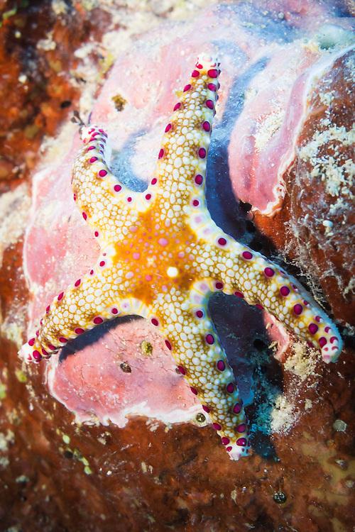Cumings Sea Star (Neoferdina cuminigi) starfish on tropical coral reef - Agincourt reef, Great Barrier Reef, Queensland, Australia.