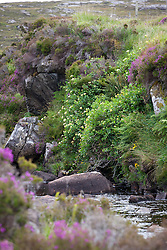 Honeysuckle growing wild by a river, South Harris, Outer Hebrides. Lonicera periclymenum