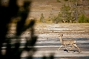 Whitetail Deer, Odocoileus virginianus, Yellowstone National Park, WY, on Sept. 7, 2012.  (Photo by Aaron Schmidt © 2012)