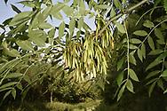 Ash - Fraxinus excelsior